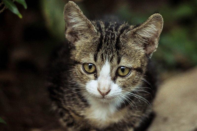 Frühkastration der Katze 3